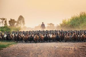 Flock of ducks with agriculturist herding on dirt road photo