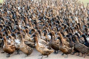 Flock of ducks walking on dirt road in plantation photo