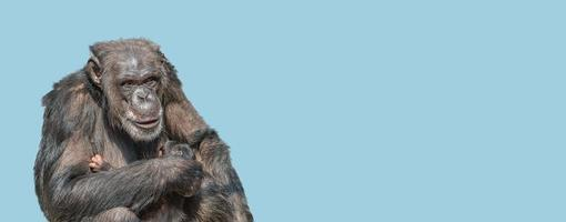 Banner with a portrait of mother chimpanzee with her cute baby, closeup, details with copy space and blue sky solid background. Concept biodiversity, animal care, maternity and wildlife conservation. photo