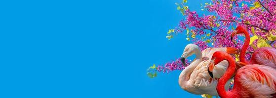 Banner with beautiful red and rosy flamingos in pink cherry flowers at blossom isolated at blue sky solid background with copy space, closeup, details. Love, care, dating and glamour concept. photo