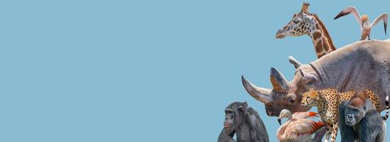 Banner with vulnerable wildlife animals in Africa, rhino, cheetah, gorilla, giraffe, elephant, flamingo, chimpanzee at blue sky solid background with copy space. Concept biodiversity and conservation. photo