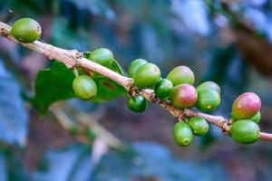 Fresh coffee granules on the branch. photo
