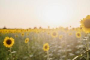 Sunflower field in sunset, nature background photo