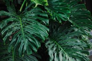 hojas de monstera gigante foto