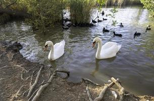 Swans and ducks in the pond photo