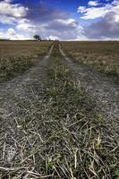 huellas en el campo de trigo foto