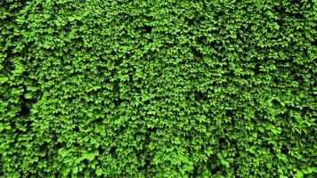 leaves of a plant curl on the wall. green leaf background photo
