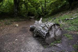 Cut tree in a wild forest photo