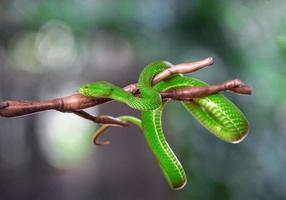 Green pit viper, hanging on the tree photo