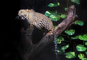 Leopard is resting in the atmosphere of the wilderness. photo
