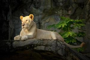 León hembra blanco descansando sobre rocas. foto