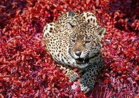Jaguar crouched in the wild nature. photo