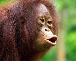 Young orangutan was screaming in wild nature. photo
