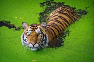 Asian tiger standing in water pond photo