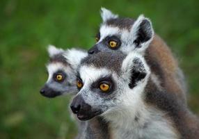 Family of  ring-tailed lemur lemur catta photo