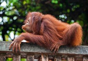 Baby orangutan is playing in the nature of a zoo. photo