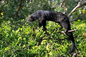 Binturong, Bearcat, Arctictis binturong On the tree. photo