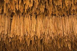 Dried tobacco leaves in the tobacco fields  in northern Thailand. photo