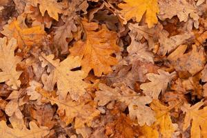 Autumn leaves fall from oak tree with rain droppers. Autumn natural background photo