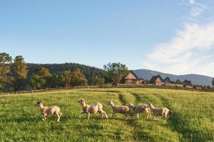 Carpathians, Ukraine. Journey in the mountains. Hiking Travel Lifestyle concept beautiful mountains landscape on background Summer vacations activity outdoor. Flock of sheep in the carpathians photo
