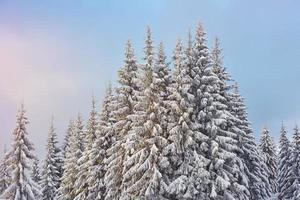 Majestic white spruces glowing by sunlight. Picturesque and gorgeous wintry scene. Location place Carpathian national park, Ukraine, Europe. Alps ski resort. Blue toning. Happy New Year Beauty world photo