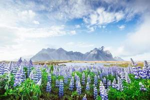 The picturesque landscapes of forests and mountains of Iceland. Wild blue lupine blooming in in summer photo