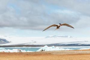 El charrán ártico sobre fondo blanco - nubes azules foto