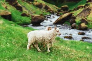 The Icelandic sheep. Fantastic views waterfall in the national park photo