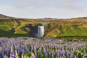 The picturesque landscapes of forests and mountains of Iceland. Wild blue lupine blooming in summer. The most beautiful waterfall photo