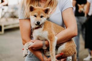 mujer sostiene un cachorro de akita en sus brazos. pasear con su mascota en un día de verano foto