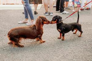 dos perros salchicha se conocen y se saludan con la nariz foto