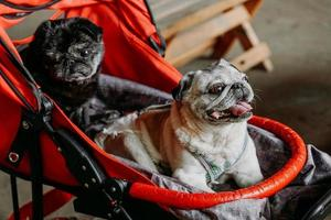 Two adult pugs in a red baby carriage. Black and gray pug photo
