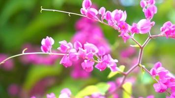 Pink flowers swaying in slow motion against a backdrop of green leaves. Antigonon Leptopus blooming in the rainy season. video