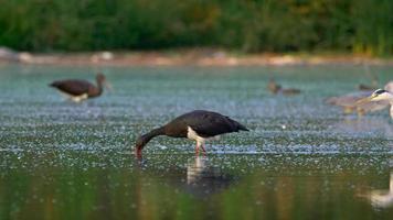 Black storks and grey herons video