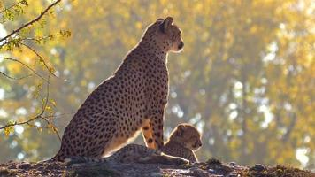 Mother cheetah with her baby video