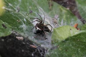 Araña preparándose para comerse a su presa atrapada en su red foto