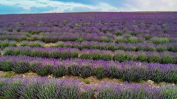 Landscape with a blooming lavender field photo