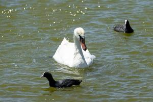 Portrait of a white swan on the background of the water surface photo