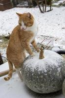 A red cat stands with its paws on a huge pumpkin on a winter day. Pumpkins in the snow in the open air. Vertical background photo