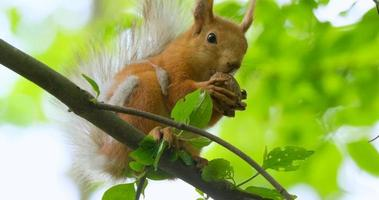 Close up picture of squirrel on a branch video
