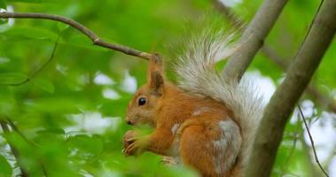 Close up photo d'écureuil sur une branche video
