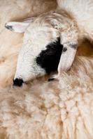 Brown and white sheep lying on the ground. photo