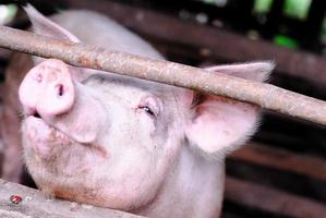 small pig farm photo