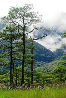 Pine on mountain with fog at Phu Soi Dao National Park, Uttaradit, Thailand photo