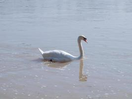 Swan in a pond photo