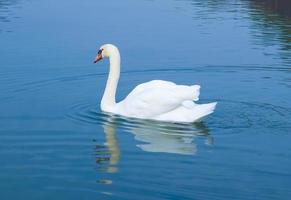 Swan on the lake photo