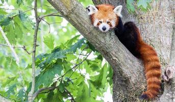Red panda - Ailurus Fulgens - portrait. Cute animal resting lazy on a tree. photo