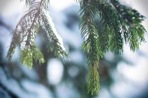frost and snow on green needles of fir trees photo