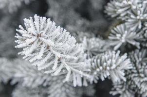 escarcha y nieve en agujas verdes de abetos foto