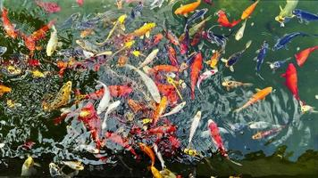 Colorful Fishes in a Green Lake video